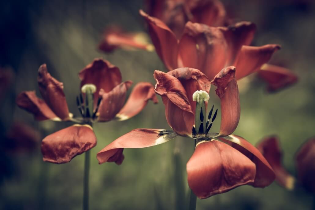 verblühten Tulpen