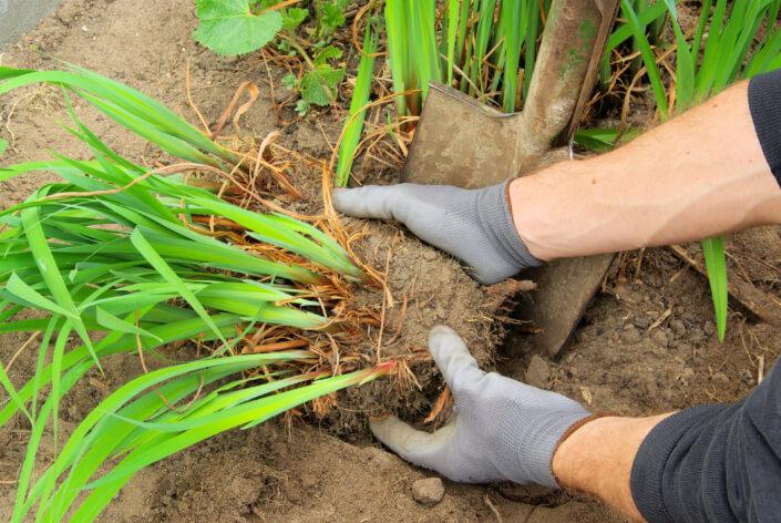 Das Teilen regt bei Stauden das Wachstum an. Die Pflanzen blühen im Folgejahr besonders schön