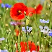 Eine schöne Blumenwiese
